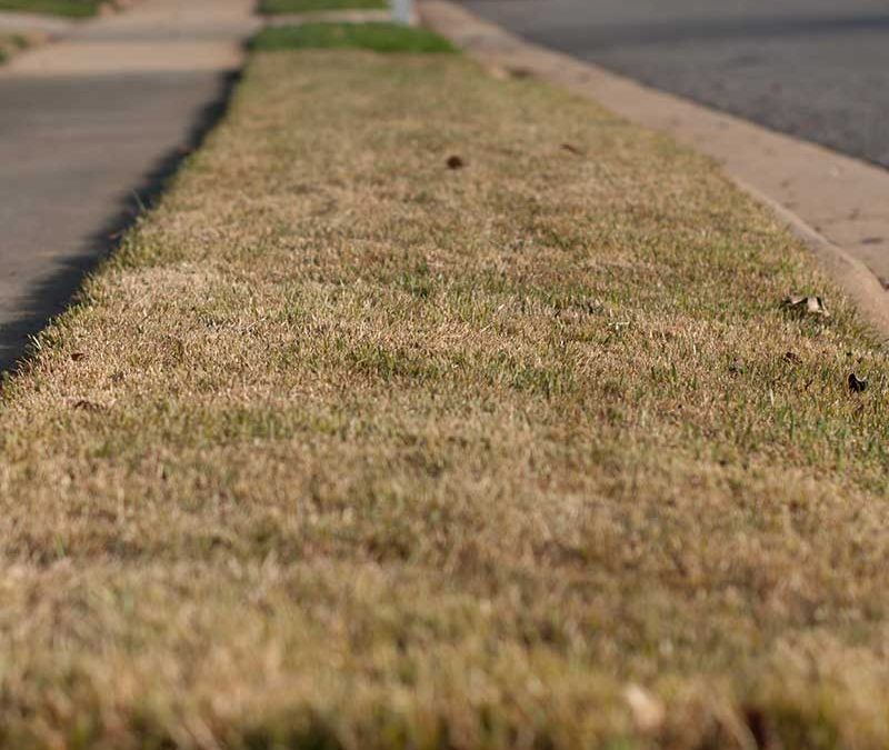 Bring Dormant or back dead Grass with These Easy Steps